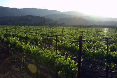 vineyard 02