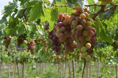grapes-1129478_1920