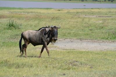 wildebeest-322088_1920