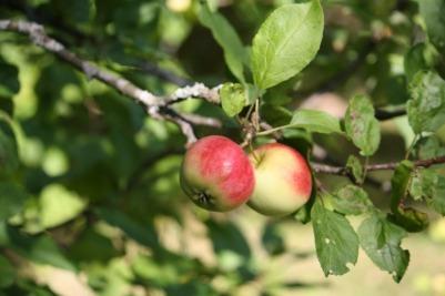 apple-tree-257958_1920