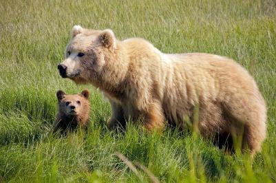 brown-bears-931657_1280